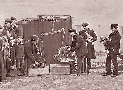Whippet Racing Weighing In Great Period Image On Dog Greetings Note Card