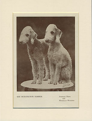 Bedlington Terrier Two Named Dogs Old 1930's Dog Print Ready Mounted
