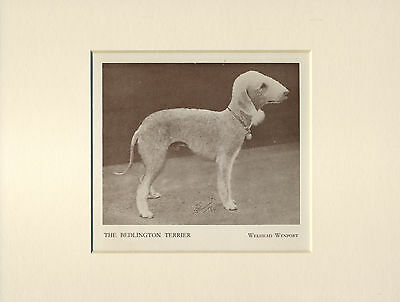 Bedlington Terrier Old Named Dog Print From 1934 Ready Mounted