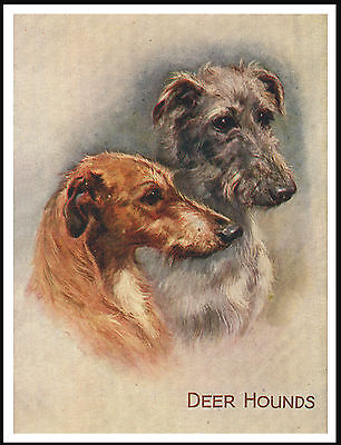 Scottish Deerhound Head Study Two Dogs Lovely Image Dog Print Poster