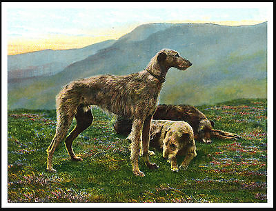 Scottish Deerhound Three Dogs Highlan Scene Great Image Dog Print Poster