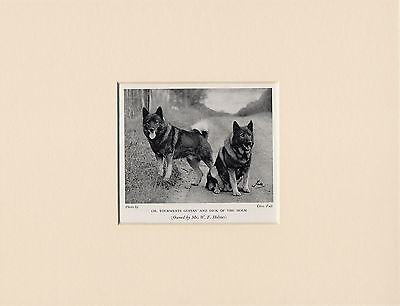 Elkhound Named Dogs Old 1930's Dog Print Mounted Ready To Frame