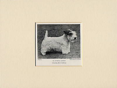 Sealyham Terrier Named Champion Dog Old 1930's Dog Print Mounted Ready To Frame