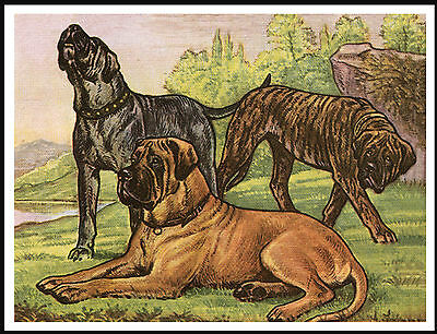 Mastiff Group Three Dogs Lovely Dog Print Poster