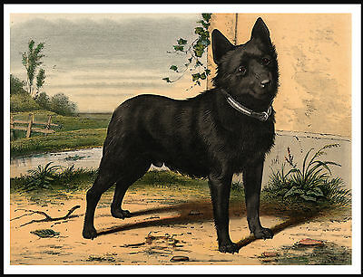 Schipperke Lovely Vintage Style Dog Art Print Poster