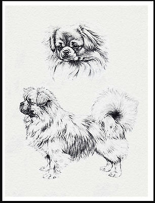 Tibetan Spaniel Lovely Dog Sketch Print Poster