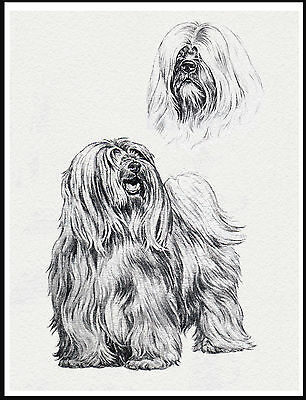 Tibetan Terrier Lovely Dog Sketch Print Poster