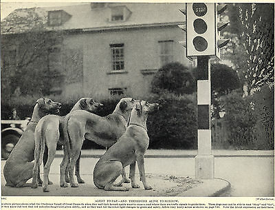 Great Dane Dogs Wait At Traffic Lights Great Image Old Original 1934 Dog Print