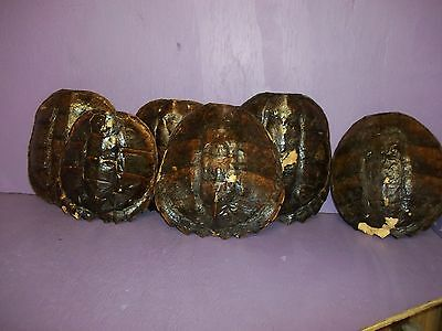 1 Real Serpentine Common Snapping Turtle Shell taxidermy animal parts