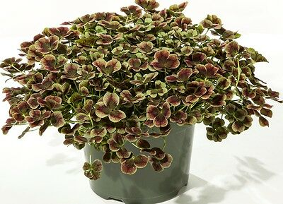 """Red & Green Glow Shamrock 4 Leaf Clover -Trifolium - Indoors or Out - 4"""" Pot"""