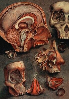 18Th C. French Antique Medical A3 Re Print Cranio Facial Anatomy  By D'agoty
