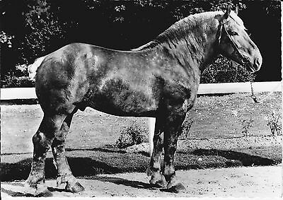 1961 FRENCH BOULONNAIS DRAFT HORSE - REAL PHOTO POSTCARD RPPC SOUFRANE MEDICAL
