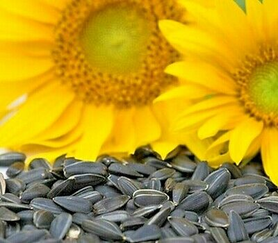 Peredovik Sunflower Seeds -  The birds love these seeds!!! Great for wildlife!!