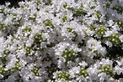 Thyme Snowdrift aromatic evergreen herb plant summer loved by bees ground cover