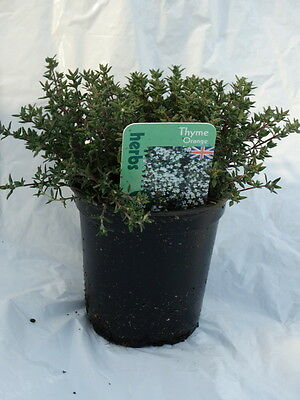 Thyme Orange herb plant evergreen aromatic leaves bees ground cover 9cm pot