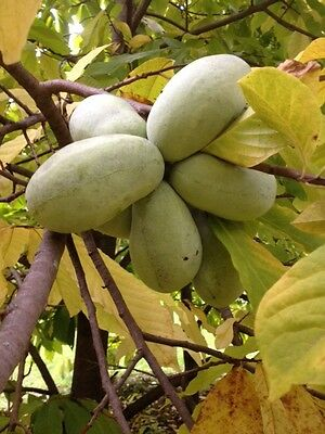 100 Pawpaw Seeds (at least 1/3 lb) Mix of Davis, Prolific, and Sunflower
