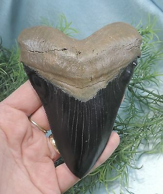 Beautiful 5'' Megalodon Tooth Replica, Hand Painted!!/fossil Sharks Tooth Teeth
