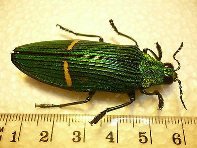 Real Beetles/insects Jewel Scarabs Coleoptera Catoxantha opulenta opulenta
