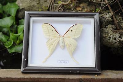 Real 1 Butterfly Garden Plans Display Taxidermy Insect Framed - Beautiful #BT14