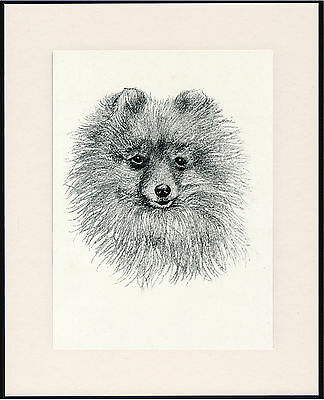 Pomeranian Old Dog Head Study Print From 1935 Mounted Ready To Frame