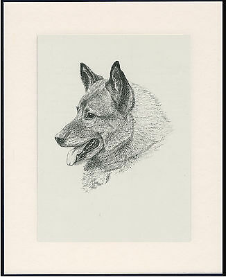 Norwegian Elkhound Old Dog Head Study Print From 1935 Mounted Ready To Frame