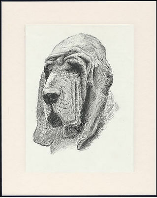 Bloodhound Old Dog Head Study Print From 1935 Mounted Ready To Frame