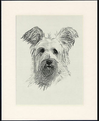 Skye Terrier Old Dog Head Study Print From 1935 Mounted Ready To Frame
