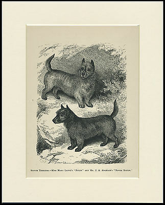 Scottish Terrier Dogs Antique 1878 Named Dogs Dog Print Engraving Ready Mounted