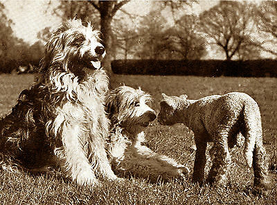 Bearded Collie And Lamb Charming Dog Greetings Note Card