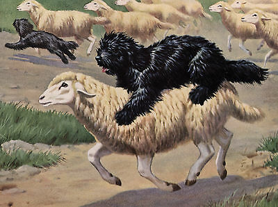 Hungarian Puli And Sheep Lovely Dog Greetings Note Card