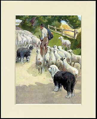Old English Sheepdog Dogs Shepherd And Sheep Dog Print Mounted Ready To Frame