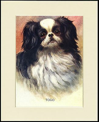 Japanese Chin Lovely Dog Gead Study Print Mounted Ready To Frame