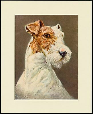 Wire Fox Terrier Head Study Lovely Dog Print Mounted Ready To Frame