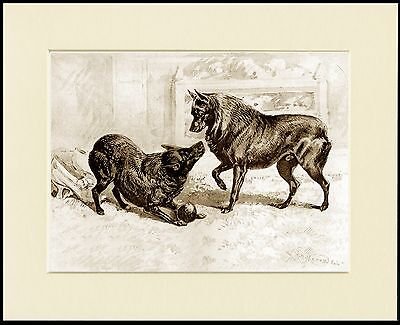 Schipperke Two Dogs At Play Lovely Dog Print Mounted Ready To Frame