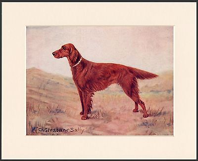 Irish Setter Old Named Champion Dog Lovely Print Mounted Ready To Frame