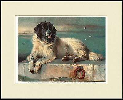 Newfoundland Distinguished Member Lovely Dog Print Mounted Ready To Frame
