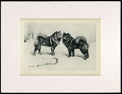 CHOW CHOW RARE 1894 ANTIQUE DOG PRINT by ARTHUR WARDLE READY MOUNTED
