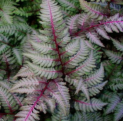 """'Regal Red' Japanese Painted Fern - Athyrium - Shade Lover - Hardy - 4"""" Pot"""