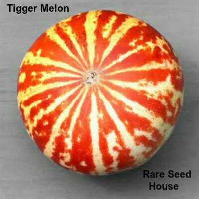 Rare Tigger Melon Seeds! THE MOST BEAUTIFUL DELICIOUS MELON YOU WILL EVER GROW!