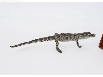 100% Real Genuine Freshwater Crocodile - Stuffed Taxidermy Mounted 35CM #CST01