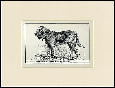 Bloodhound Rare Antique 1900 Wood Block Engraving Named Dog Print Ready Mounted