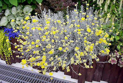 Curry Korma herb plant silver leaves yellow flowers 9cm pot