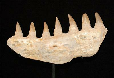 Amazing Mosasaur Fossil Jaw Bone With Tooth From Morocco On Stand #m12