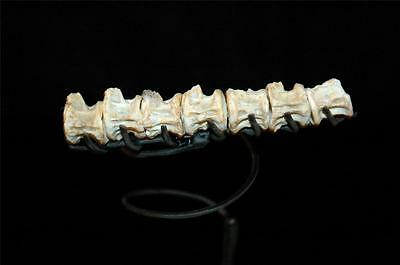Unidentified Fish Vertebra Fossil Bone Sequence From Morocco On Stand #f13