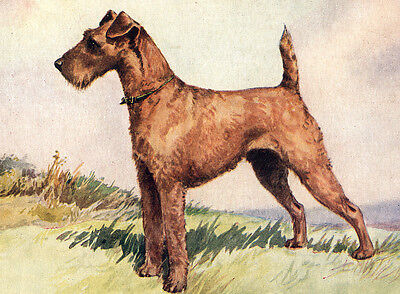Irish Terrier Lovely Standing Dog Charming Dog Greetings Note Card