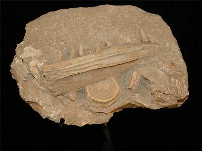 Eutrichiurides Fossil Fish Bones With Teeth In Matrix On Stand - Morocco #eu20