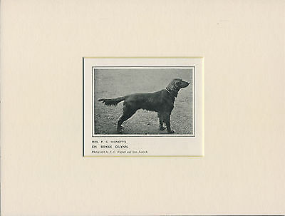 Irish Setter Antique 1912 Named Champion Dog Print Mounted Ready To Frame