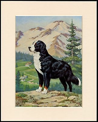 Bernese Mountain Dog In Alpine Scene Lovely Print Mounted Ready To Frame