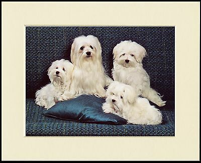 Maltese Dog And Puppies Lovely Little Print Mounted Ready To Frame