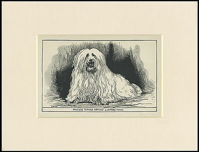 Maltese Rare Antique 1900 Engraving Named Dog Print Ready Mounted